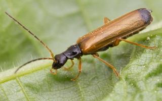 Rhagonycha lignosa · krūminis minkštavabalis