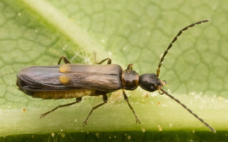Malthodes sp. · minkštavabalis
