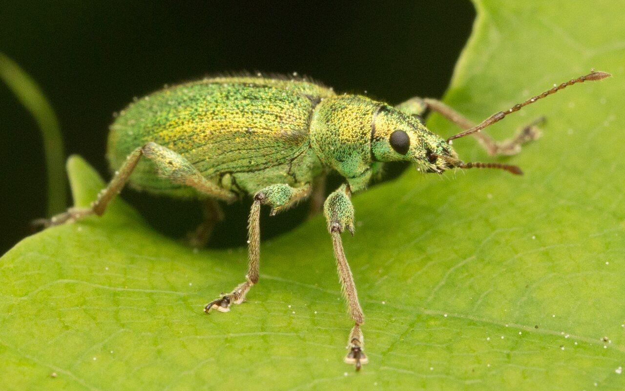 Curculionidae-0917.jpg