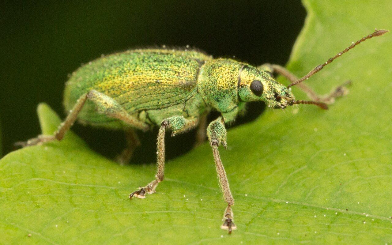 Curculionidae-0918.jpg
