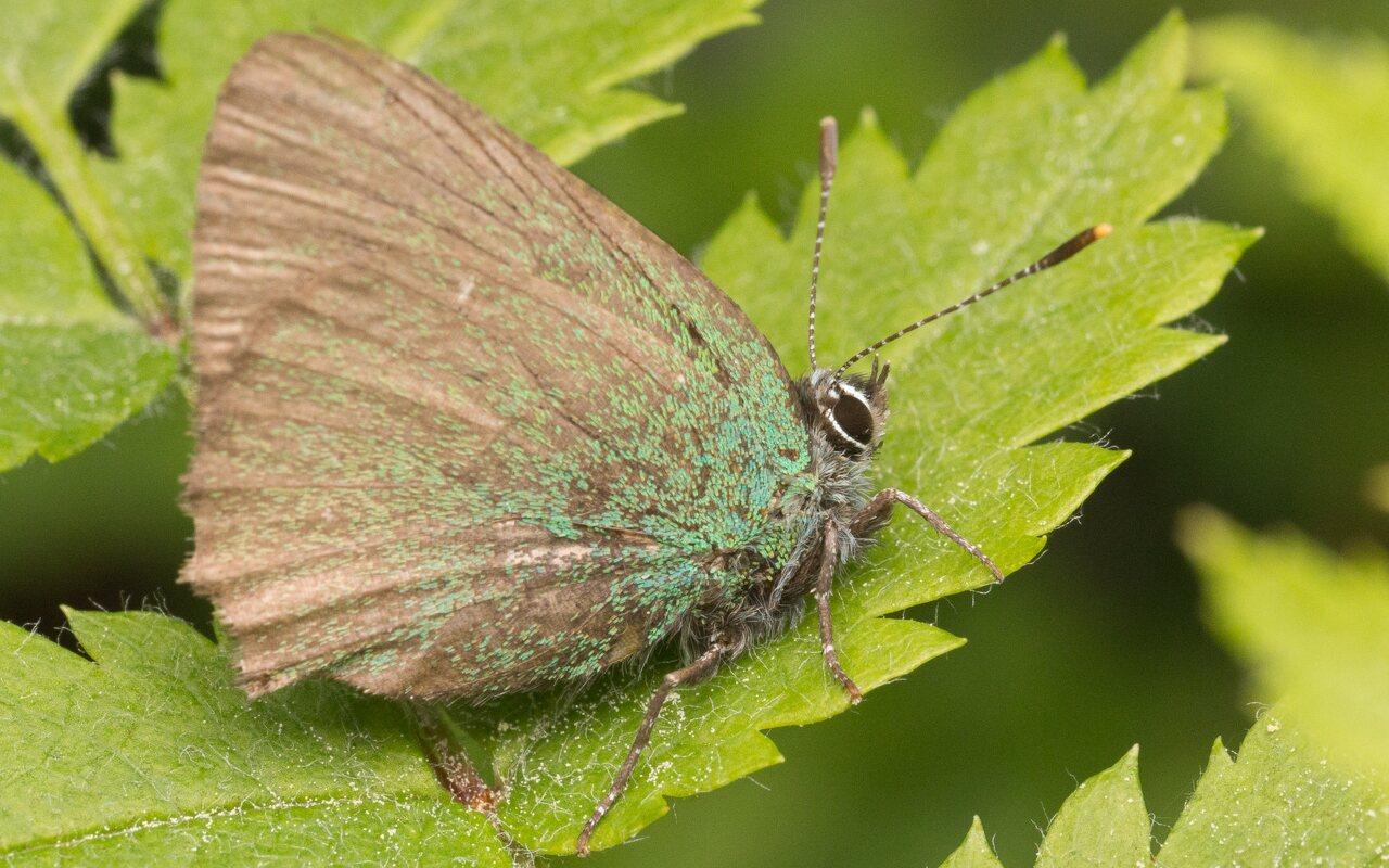 Callophrys-rubi-0926.jpg