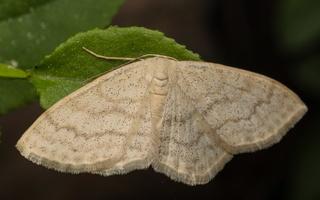 Scopula floslactata · rudagelsvis sprindžiukas