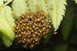 Araneus diadematus spiderlings · paprastasis kryžiuotis, jaunikliai