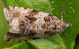 Celypha lacunana · dilgėlinė celifa