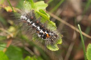 Euproctis similis caterpillar · geltonuodegis verpikas, vikšras
