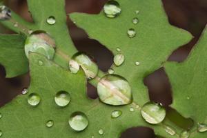 Lactuca muralis leaf · miškinė zuiksalotė, lapas