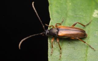 Alosterna tabacicolor · rusvasis šakalindis