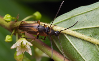 Alosterna tabacicolor mating · rusvasis šakalindis poruojasi