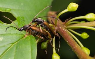 Alosterna tabacicolor copula · rusvasis šakalindis poruojasi