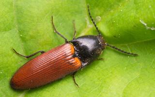 Ampedus sp. · kelmaspragšis