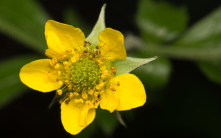 Geum urbanum flower · geltonoji žiognagė, žiedas