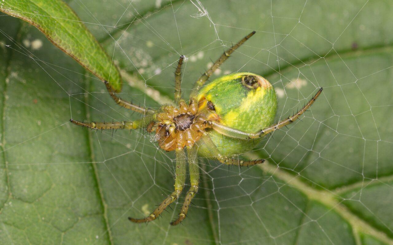 Araneidae-1049.jpg