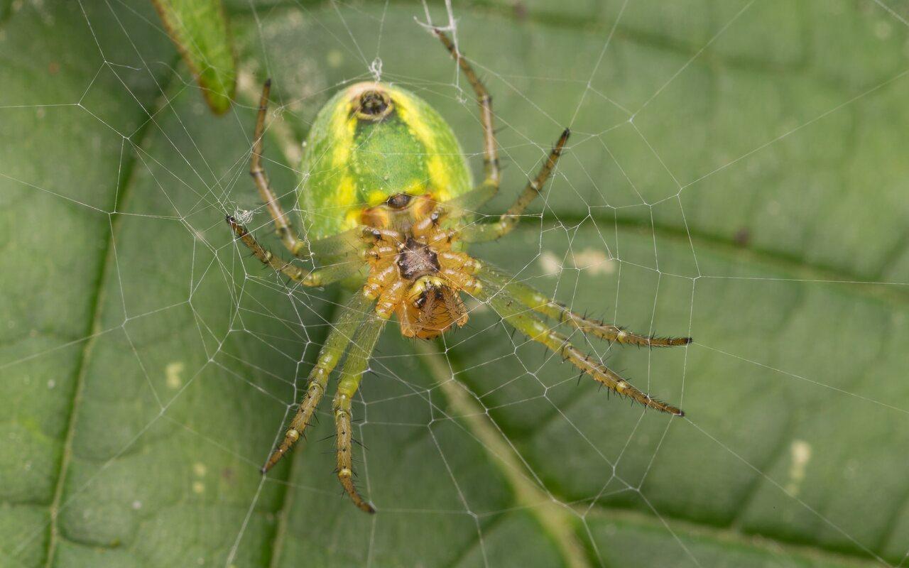 Araneidae-1051.jpg