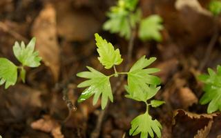 Tilia cordata seedling · mažalapė liepa, daigas
