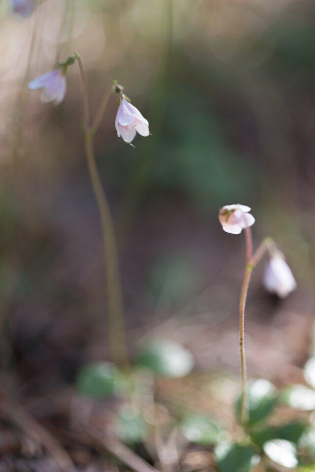 Linnaea-borealis-1069.jpg