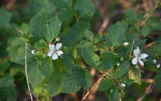 Rubus plicatus · raukšlėtoji gervuogė