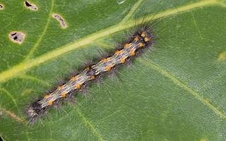 Lithosia quadra caterpillar · keturtaškė kerpytė, vikšras