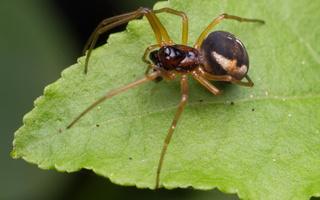 Pachygnatha listeri male · rausvasis gūžokas ♂