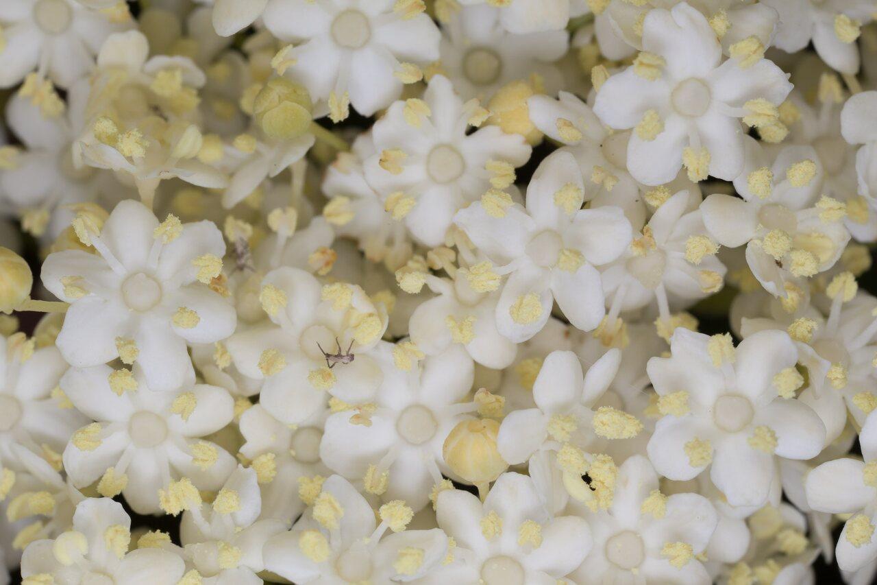 Sambucus-nigra-1271.jpg