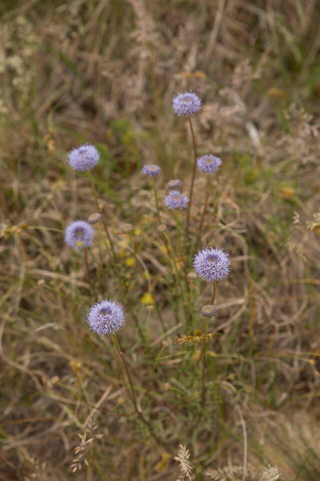 Campanulaceae-1283.jpg