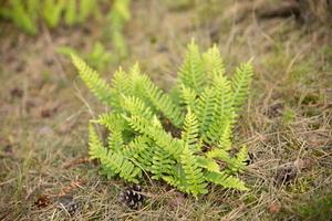 Polypodium vulgare · paprastoji šertvė