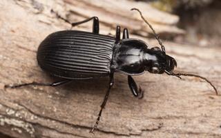 Pterostichus niger · juodasis smiltžygis