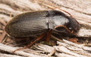 Pseudoophonus rufipes · gauruotasis vikražygis