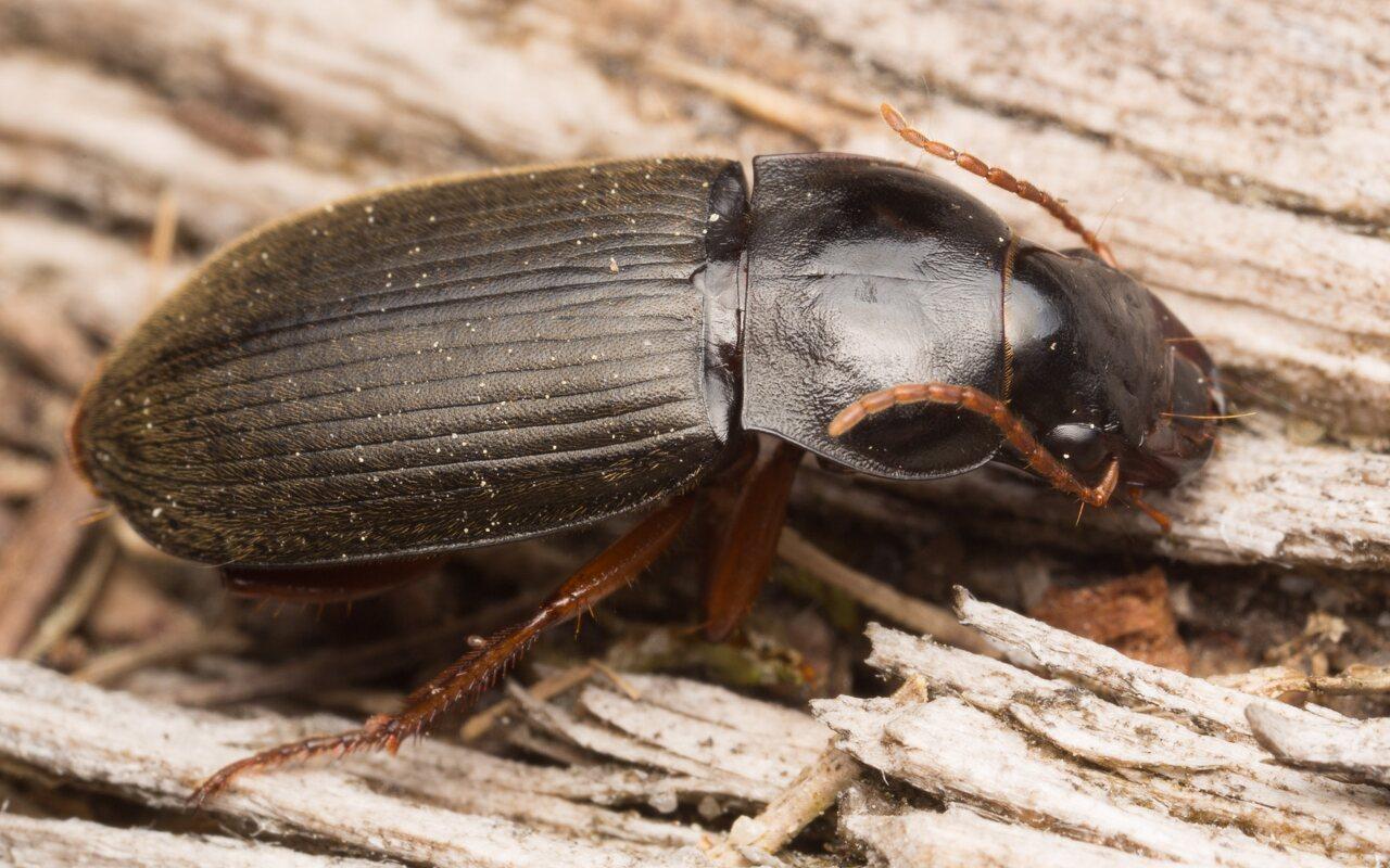 Carabidae-1378.jpg