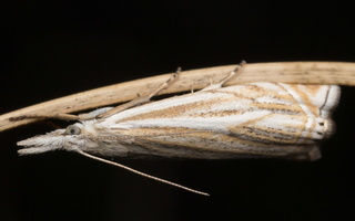 Crambus lathoniellus · pievinis žolinukas