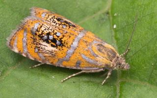 Tortricidae · lapsukiai