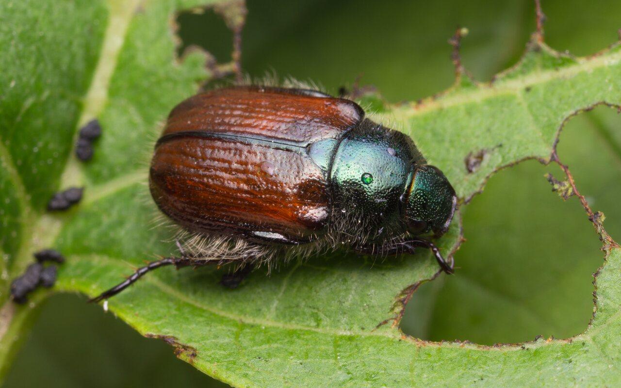 Phyllopertha-horticola-1408.jpg