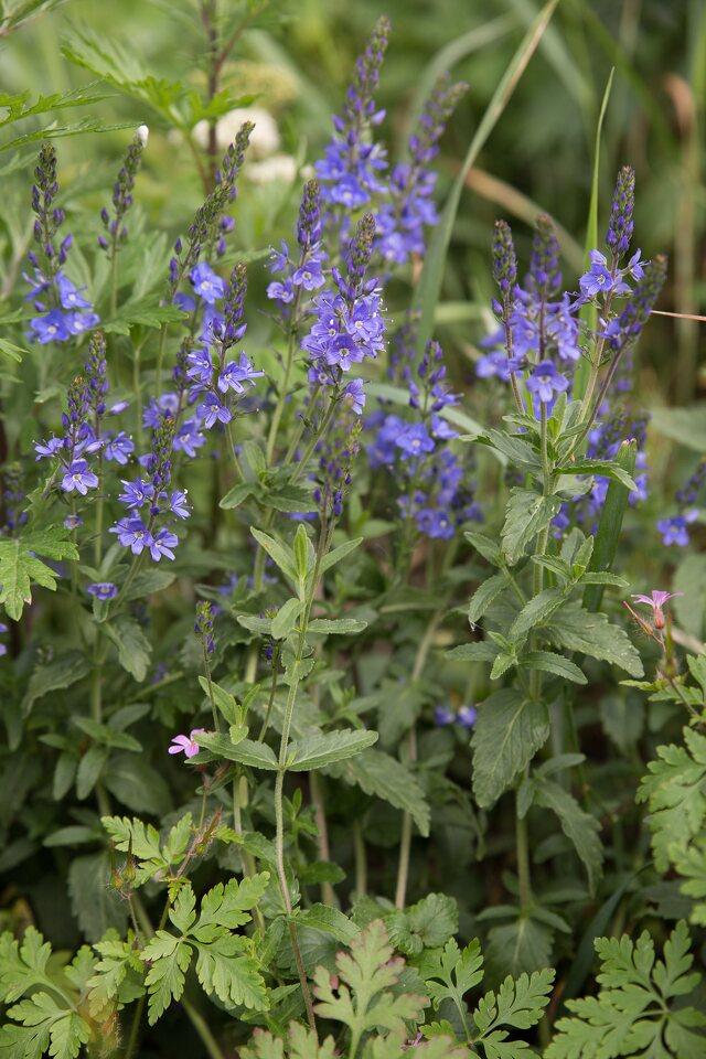 Plantaginaceae-1451.jpg