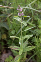 Stachys palustris · pelkinė notra