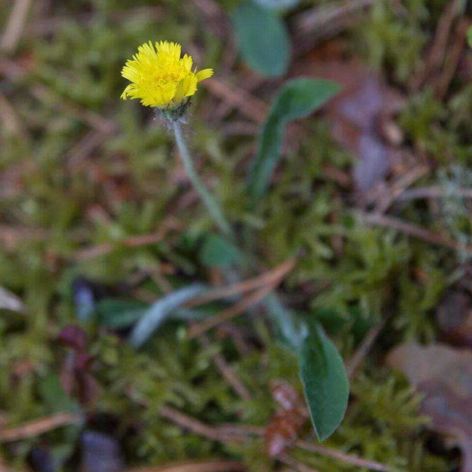 Asteraceae-1461.jpg