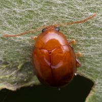 Sphaeroderma rubidum · bajorinė kamuolspragė