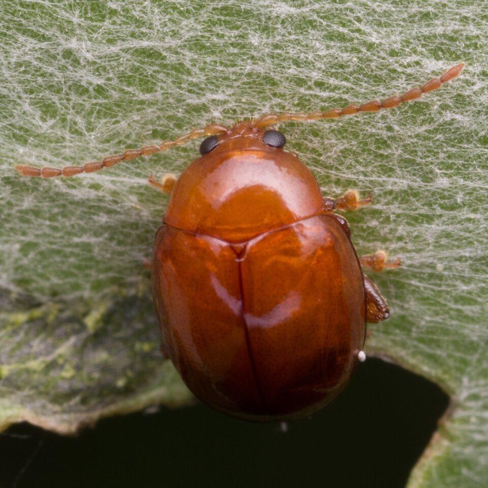 Sphaeroderma-rubidum-1475.jpg