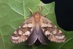 Phymatopus hecta, female · mažasis šakniagraužis ♀