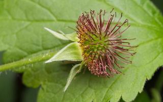 Geum urbanum fruit · geltonoji žiognagė, vaisius