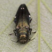 Agrilus biguttatus · dvitaškis siaurablizgis