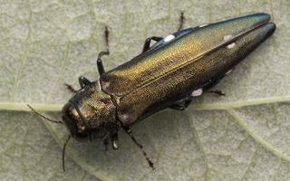 Buprestidae · blizgiavabaliai