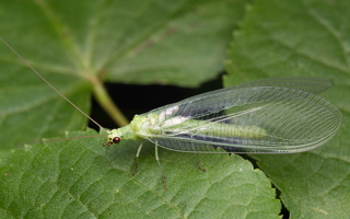 Chrysopidae · auksaakė