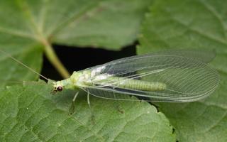 Chrysopidae · auksaakės
