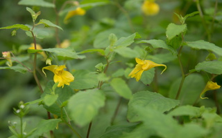 Balsaminaceae · spriginiai