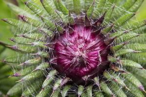 Carduus crispus flower bud · garbiniuotasis dagys, žiedpumpuris