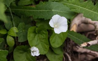 Calystegia sepium · patvorinė vynioklė