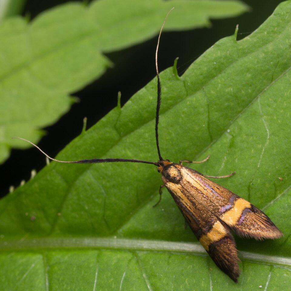 Nemophora-degeerella-1578.jpg