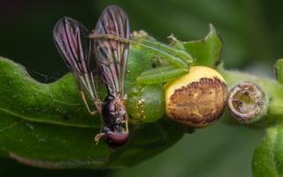 Diaea dorsata · rudasis lapavoris