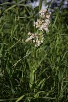 Silene vulgaris · paprastoji naktižiedė