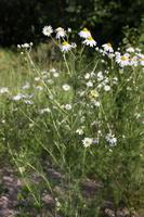 Matricaria chamomilla · vaistinė ramunė