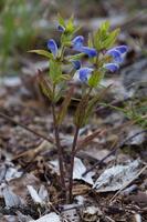 Scutellaria galericulata · pelkinė kalpokė